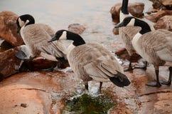 Καναδικές χήνες στο νερό στοκ εικόνες με δικαίωμα ελεύθερης χρήσης