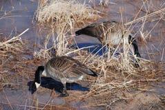 Καναδικές χήνες στο Rio Grande Στοκ φωτογραφίες με δικαίωμα ελεύθερης χρήσης