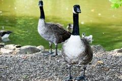Καναδικές χήνες (χήνα πρώτου πλάνου στην εστίαση) Στοκ Φωτογραφία