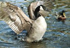 Καναδικές χήνες χήνων που διαδίδουν τα φτερά του Στοκ Φωτογραφίες