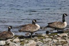 Καναδικές χήνες Στοκ Εικόνα