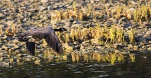 Καναδικές χήνες Στοκ εικόνα με δικαίωμα ελεύθερης χρήσης