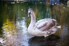 Καναδικές χήνες Στοκ φωτογραφία με δικαίωμα ελεύθερης χρήσης