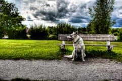 Καναδική άσπρη συνεδρίαση ποιμένων στο πάρκο στοκ φωτογραφίες με δικαίωμα ελεύθερης χρήσης