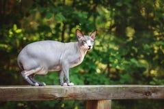 Καναδική γάτα sphynx υπαίθρια Στοκ φωτογραφία με δικαίωμα ελεύθερης χρήσης