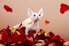 καναδική γάτα sphynx στοκ εικόνες