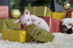 καναδική γάτα sphynx στοκ εικόνα με δικαίωμα ελεύθερης χρήσης