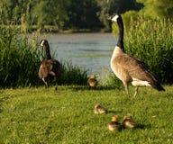 Καναδική οικογένεια χήνων Στοκ Εικόνες