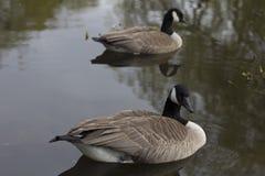 καναδική χήνα ζευγών Στοκ Εικόνα