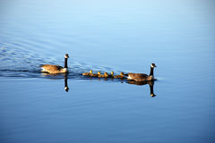Καναδική χήνα οικογενειακής προστασίας Στοκ Φωτογραφία