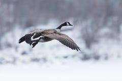 Καναδική χήνα στην προσγείωση Στοκ Εικόνες
