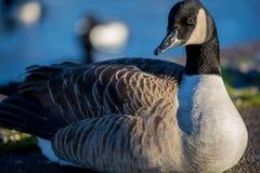 καναδική χήνα Στοκ Φωτογραφίες