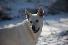 Καναδικός λευκός ποιμένας Στοκ φωτογραφίες με δικαίωμα ελεύθερης χρήσης