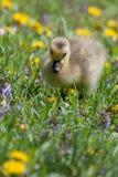Καναδικό χηνάρι χήνων που στηρίζεται και που τρώει Στοκ φωτογραφία με δικαίωμα ελεύθερης χρήσης