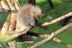 Καναδικό porcupine Στοκ Εικόνες