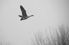 Καναδόχηνα που πετά σιωπηλά στην ομίχλη πρωινού Στοκ φωτογραφία με δικαίωμα ελεύθερης χρήσης