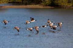 Καναδόχηνες που πετούν πέρα από Weir την ξύλινη δεξαμενή Στοκ Εικόνα