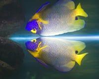 Καπετάνιος αγγέλου ψαριών Στοκ φωτογραφίες με δικαίωμα ελεύθερης χρήσης
