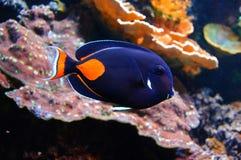 Καπετάνιος Nemo Στοκ εικόνες με δικαίωμα ελεύθερης χρήσης