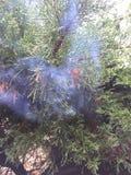 Καπνίζοντας δέντρο πεύκων Στοκ Εικόνα