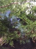 Καπνίζοντας δέντρο πεύκων Στοκ εικόνες με δικαίωμα ελεύθερης χρήσης