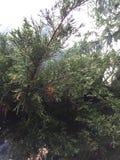 Καπνίζοντας δέντρο πεύκων Στοκ Εικόνες