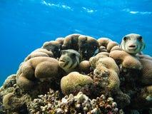 καπνιστής έναστρος Ψάρια stellatus Arothron Ερυθρά Θάλασσα Αίγυπτος Στοκ Φωτογραφίες