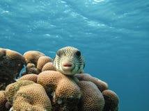 καπνιστής έναστρος Ψάρια stellatus Arothron Ερυθρά Θάλασσα Αίγυπτος Στοκ Φωτογραφία