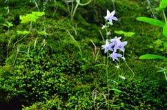 Καπνοδόχος bellflower ενάντια στην πράσινη χλόη στοκ εικόνες