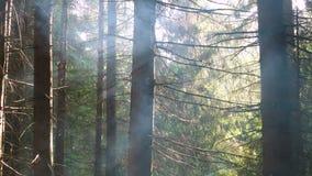 Καπνός μέσω των δέντρων πεύκων απόθεμα βίντεο