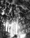 Καπνός πέρα από τα δέντρα πεύκων Στοκ Εικόνες