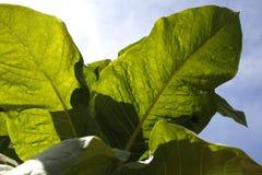 καπνός φυτών φύλλων Στοκ εικόνες με δικαίωμα ελεύθερης χρήσης