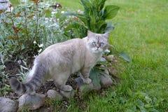 Καπνώδης γάτα στο κρεβάτι λουλουδιών στοκ εικόνα