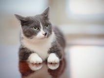 0 καπνώδης-γκρίζος με την άσπρη εσωτερική γάτα Στοκ φωτογραφία με δικαίωμα ελεύθερης χρήσης