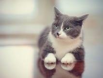 0 καπνώδης-γκρίζος με την άσπρη εσωτερική γάτα Στοκ Εικόνες