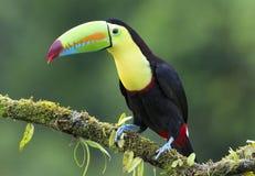 Καρίνα-τιμολογημένος ένας toucan που σκαρφαλώνει σε έναν mossy κλάδο στη Κόστα Ρίκα στοκ φωτογραφία με δικαίωμα ελεύθερης χρήσης