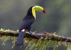 Καρίνα-τιμολογημένος ένας toucan που σκαρφαλώνει σε έναν mossy κλάδο στη Κόστα Ρίκα στοκ φωτογραφία