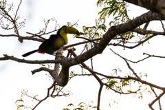Καρίνα-τιμολογημένο toucan sulfuratus Ramphastos Στοκ Εικόνα