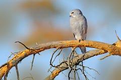 Καρακάξα σαυρών, monogrammicus Kaupifalco, συνεδρίαση πουλιών του θηράματος στον κλάδο με το μπλε ουρανό Σκηνή άγριας φύσης από τ Στοκ Εικόνα