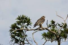 Καρακάξα στο Everglades στοκ εικόνα με δικαίωμα ελεύθερης χρήσης