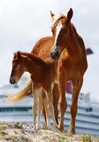 καραϊβικά άλογα Στοκ Εικόνες
