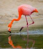 Καραϊβικά φλαμίγκο που στέκονται στη λιμνοθάλασσα galapagos νησιά ηξών Ισημερινός στοκ εικόνα