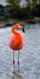 Καραϊβικά φλαμίγκο που στέκονται στη λιμνοθάλασσα galapagos νησιά ηξών Ισημερινός στοκ εικόνες με δικαίωμα ελεύθερης χρήσης