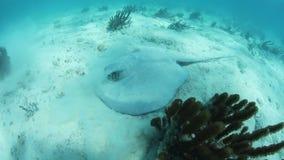Καραϊβικές τροφές Whiptail Stingray με τον αμμώδη θαλάσσιο πυθμένα φιλμ μικρού μήκους