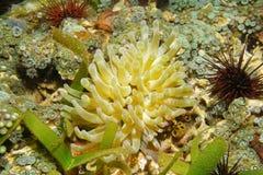 Καραϊβική θάλασσα gigantea Condylactis anemone Condy Στοκ Φωτογραφία