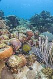 καραϊβική κοραλλιογενής ύφαλος Στοκ εικόνες με δικαίωμα ελεύθερης χρήσης