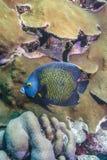 καραϊβική κοραλλιογενής ύφαλος Στοκ Εικόνες