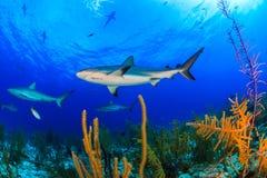 Καραϊβικοί καρχαρίας και κοράλλι σκοπέλων Στοκ φωτογραφία με δικαίωμα ελεύθερης χρήσης