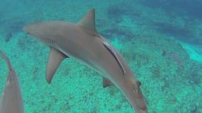 καραϊβικοί καρχαρίες σκοπέλων απόθεμα βίντεο