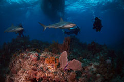 καραϊβικοί καρχαρίες σκοπέλων Στοκ εικόνες με δικαίωμα ελεύθερης χρήσης